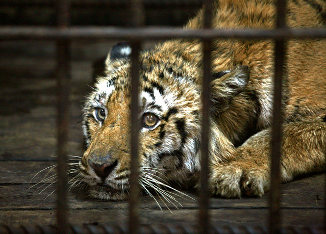 A wounded male Royal Bengal Tiger sits in a cage at a veterinary zoo hospital in Kolkata March 16, 2009. (Photo by Jayanta Shaw/Reuters)