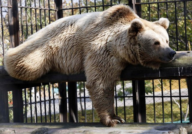 Pamir, a seven-year-old Tien Shan White Claw bear, lies inside an open-air cage at the Royev Ruchey zoo in the suburbs of Krasnoyarsk, Siberia, September 26, 2014. (Photo by Ilya Naymushin/Reuters)