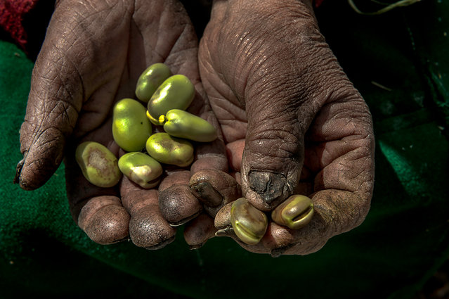 The hard-worked hands of Jacaba Coaquira, 80, holding the green beans she grew on her land. This year the production of her land was affected by lack of rain and early cold weather that froze the crops before they finished growing. Santiago de Okola, Bolivia. (Photo by Renée C. Byer/Living on a Dollar a Day)