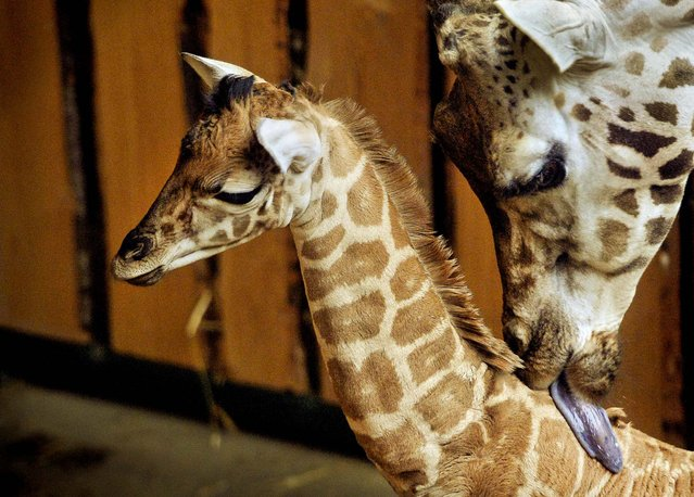 A newborn giraffe is nursed by his mother Aja Sabe at  the Zoo in Gelsenkirchen, Germany, February 25, 2013. (Photo by Martin Meissner/Associated Press)