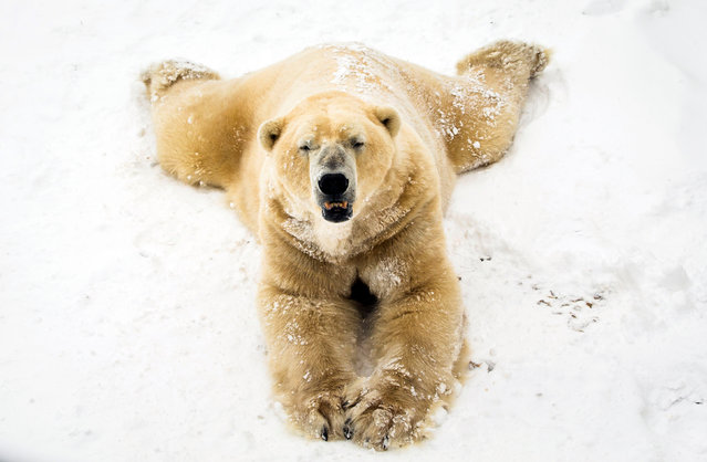 Victor the polar bear enjoys the snow at the Yorkshire Wildlife Park in Doncaster, South Yorkshire on February 28, 2018, as heavy snow and sub-zero conditions have blighted Britain's roads, railways and airports, with delays and cancellations. (Photo by Danny Lawson/PA Images via Getty Images)