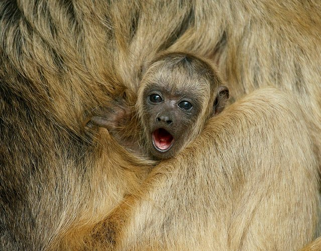 A howler monkey baby, almost 5 months old, clings to his mother's back at Smithsonian's National Zoo. (Photo by Clyde Nishimura/Smithsonian's National Zoo)