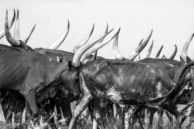 In Uganda, a herd of Angolan-Watusi or Longhorn cattle make their way to a river for a drink. This unique cattle breed has extremely long and intimidating horns, dwarfing the tiny herdsman and shepherds that keep them in check. (Photo by Chris Renshaw)