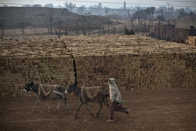 A Pakistani youth who works at a brick factory, runs after donkeys which are used to transport bricks from site to another, in Mandra near Rawalpindi, Pakistan, Wednesday, December 31, 2014. (Photo by Muhammed Muheisen/AP Photo)