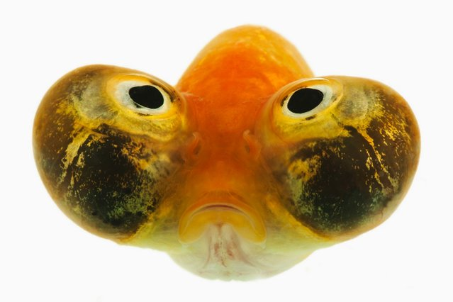This bug eyed fish only has a three second memory so he wont remember what he looks like. The fish is only able to swim on his own in case he bumps into another fish and bursts his balloon eyes. (Photo by Caters News)