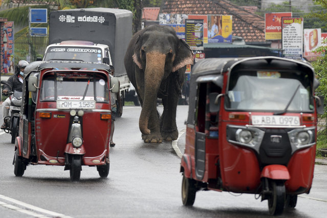 A mahout walks next to his elephant through a busy street in Horana, a suburb of Sri Lanka's capital Colombo on March 23, 2021. (Photo by Lakruwan Wanniarachchi/AFP Photo)