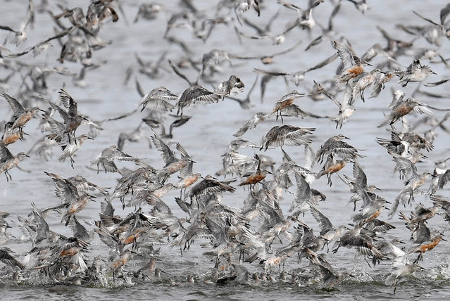 Thousands of wading birds, including Knot, fly onto dry sandbanks during the month's highest tides at The Wash estuary, near Snettisham in Norfolk, Britain, September 13, 2018. (Photo by Toby Melville/Reuters)