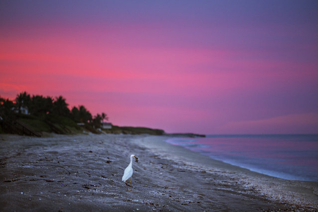A bird carries a hatchling in its mouth as the sun sets north of Coral Cove Park in Tequesta. (Photo by Greg Lovett/The Palm Beach Post)