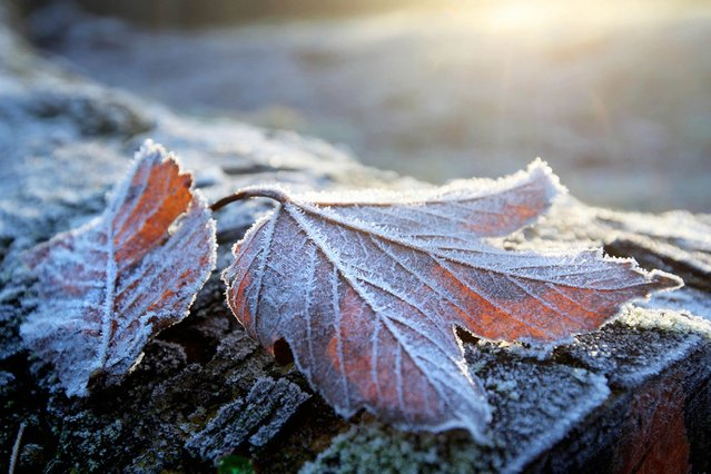 A leaf covered in frost at Country Park in the Bathgate Hills near Linlithgow. (Photo by Gordon Jack/Scotimage.com)