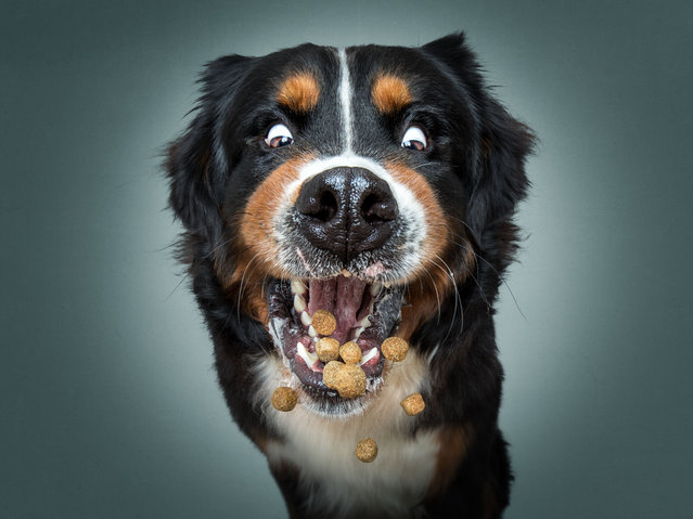 Oskar the Bernese Mountain Dog. (Photo by Christian Vieler/Caters News Agency)