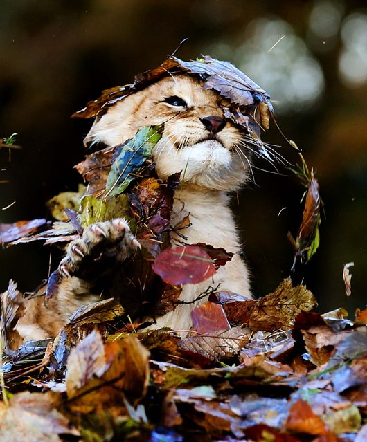 Karis plays in the fallen leaves. (Photo by Andrew Milligan/PA Wire)