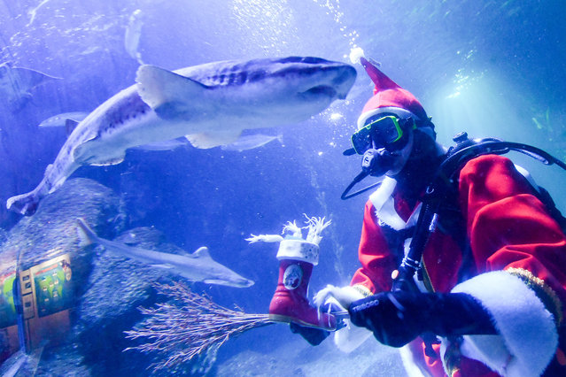 Head aquarist Martin Hansel feeds the fish at Sea Life in Berlin in a Santa Claus costume in the Atlantic basin on December 4, 2018. The food consists of squid. (Photo by Jens Kalaene/dpa-Zentralbild Picture Alliance via Getty Images)