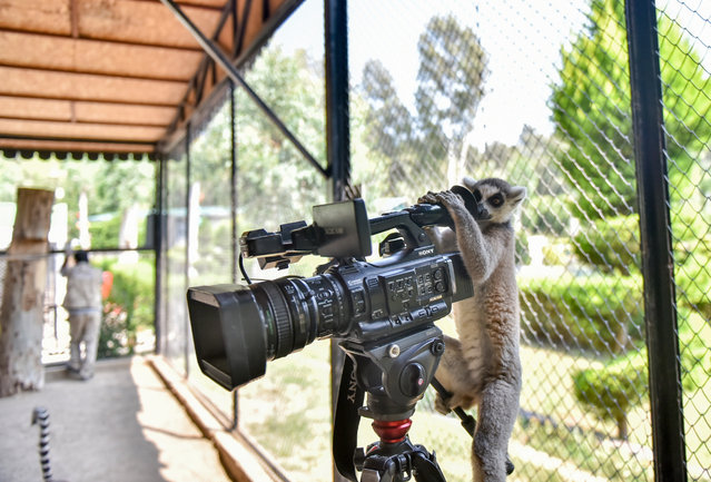 A lemur inspects a camera at Tarsus Nature Park in Mersin, Turkey on July 25, 2021. The population of lemurs, one of the inhabitants of Tarsus Nature Park, increases with new births every year. Lemurs are among the most interesting species in the zoo. (Photo by Serkan Avci/Anadolu Agency via Getty Images)