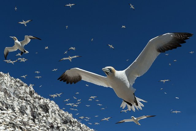 Alec Trusler zooms in on the gannets at Bass Rock. (Photo by Scottish Seabird Centre)