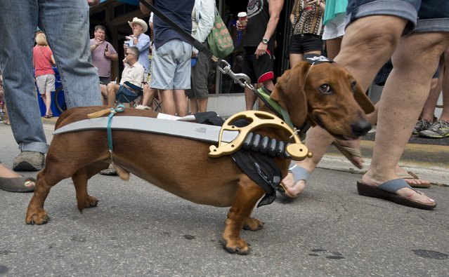 In this photo provided by the Florida Keys News Bureau, Fritz wears a sword that is almost as long as he is while participating in in the Key West Dachshund Walk Tuesday, December 31, 2013, in Key West, Fla. About 200 canines participated in the annual New Year's Eve procession. (Photo by Andy Newman/AP Photo/Florida Keys News Bureau)