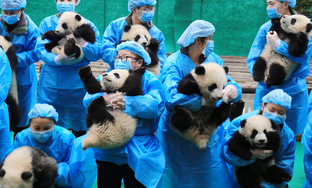 Breeders hold baby giant pandas as they pose for pictures ahead of the Spring Festival in Chengdu, Sichuan province, China, January 20, 2017. (Photo by Reuters/China Daily)