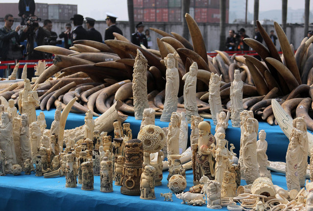 Ivory is displayed before being crushed during a public event in Dongguan, south China's Guangdong province on January 6, 2014. China crushed a pile of ivory reportedly weighing over six tonnes on January 6, in a landmark event aimed at shedding its image as a global hub for the illegal trade in African elephant tusks. (Photo by AFP Photo)