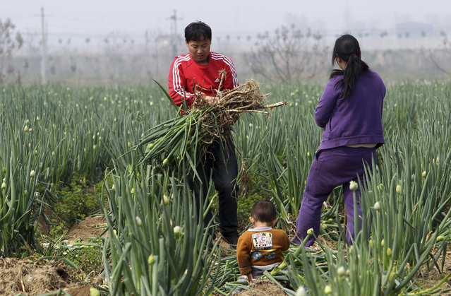 In this photo taken Thursday April 9, 2015, a family collects green onions from a 60-hectare land rented by a farming company in Xingyang city in central China's Henan province. The company decided to offer the onions for free to anyone willing to dig them up after falling prices make it unprofitable for commercial harvesting. (Photo by Chinatopix Via AP Photo)