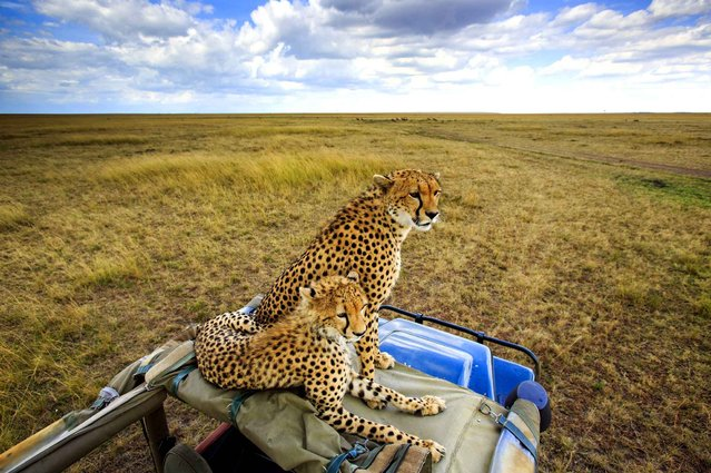 """Cheetahs shock safari tour by leaping on their truck to English photographer David Newton captured captivating images of the big cats during the safari in Masai Mara, Kenya. """"In the vehicle they see you as part of vehicle but when you get out you may be seen as a prey item"""", he said. (Photo by David Newton/Caters News/SIPA Press)"""
