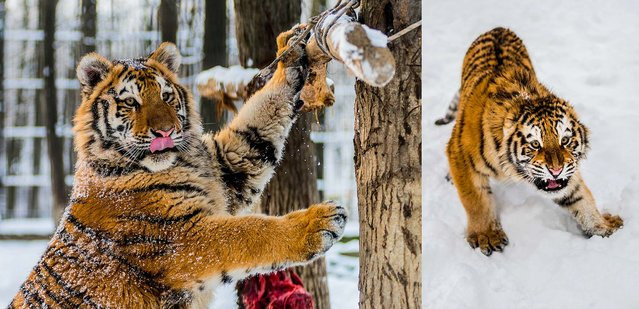 Siberian tigers after snow fell in their enclosure in the Nyiregyhaza Animal Park in Nyiregyhaza, east of Budapest, Hungary, on January 29, 2014. (Photo by Attila Balazs/MTI)