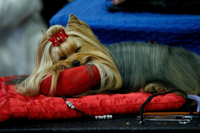 A Yorkshire Terrier rests backstage before competing at the 141st Westminster Kennel Club Dog Show, February 13, 2017 in New York City. (Photo by Drew Angerer/Getty Images)