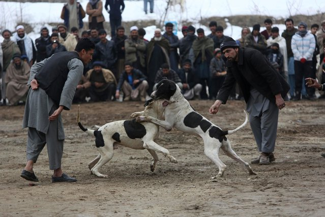 Men watch a weekly dogfighting event in Paghman district of Kabul, Afghanistan, Friday, February 17, 2017. Dogfighting is a popular form of entertainment during the winter season in Afghanistan as public matches are held every Friday, which is the official weekly holiday in the country. Dogs do not fight until death but rather until one dog pins another, or one of the fighters runs away. (Photo by Rahmat Gul/AP Photo)