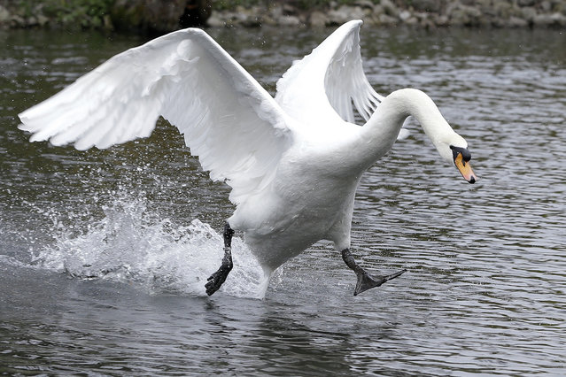 A mute swan moves across a lake, as it defends the territory around it's nest from other waterfowl, at Kew Gardens in London, Friday, March 28, 2014. (Photo by Kirsty Wigglesworth/AP Photo)
