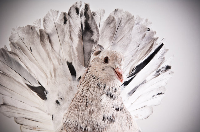 Indian Fantail. Darwin's Pigeons series. (Photo by Photo by Richard Bailey/Caters News)