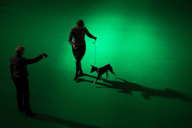 A woman runs with a Basenji dog while a judge observes on the first day of the Crufts dog show at the National Exhibition Centre in Birmingham, central England, on March 9, 2017. (Photo by Oli Scarff/AFP Photo)