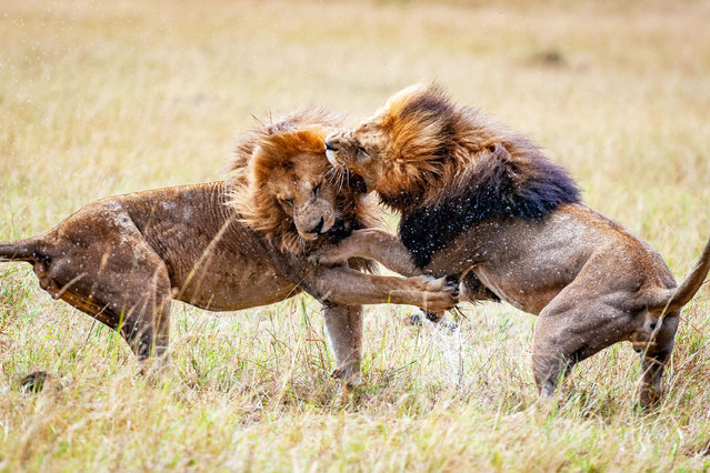 Two male lions fight for dominance on the plains of The Masai Mara in Kenya. Alpha lions are often caught up in fights when it comes to claiming their partner and territory. Usually found in the African desert, the big cats that often hunt in large groups often kill smaller animals but can attack other mammals such as cheetahs. (Photo by Ingo Gerlach/Caters News Agency)