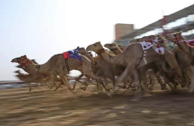 In this Saturday, April 8, 2017 photo, camels mounted with robot jockeys start a race at the Al Marmoom Camel Racetrack, in al-Lisaili about 40 km (25  miles) southeast of Dubai, United Arab Emirates. Camel racing is a big-money sport and fast thoroughbreds can fetch well over a million dollars. Rising temperatures across Gulf Arab countries like the United Arab Emirates signal the end of the winter camel racing season. In Dubai, the races are wrapping up this week with the annual Al Marmoom Heritage Festival, which has drawn thousands of camels from across the oil-rich Gulf. They compete on a well-kept racetrack some 40 kilometers (25 miles) from the Burj Khalifa, the world's tallest building, and other soaring Dubai skyscrapers. Owners race alongside in sport-utility vehicles as tiny robot jockeys urge the camels on. Owners of winning camels can look forward to trophies that include brand-new luxury cars all the way up to the top prize of more than half a million dollars. (Photo by Kamran Jebreili/AP Photo)
