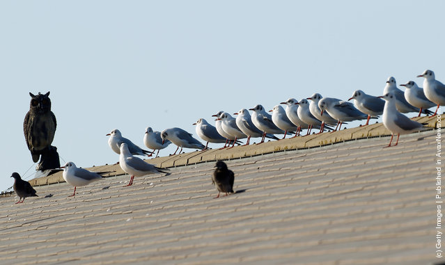 Brazen seagulls, pigeons and starlings bask in the afternoon sun undeterred by a plastic Owl bird scarer on the roof of Liverpool Coastguard Station at Crosby