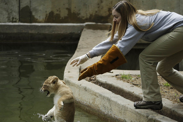 Smithsonian National Zoo biologist Leigh Pitsko releases a male lion cub for its swim test in the zoo habitat moat, in Washington May 6, 2014. Four, unnamed ten-week old lion cubs were tested today for their ability to swim and remove themselves from their zoo habitat moat. (Photo by Gary Cameron/Reuters)