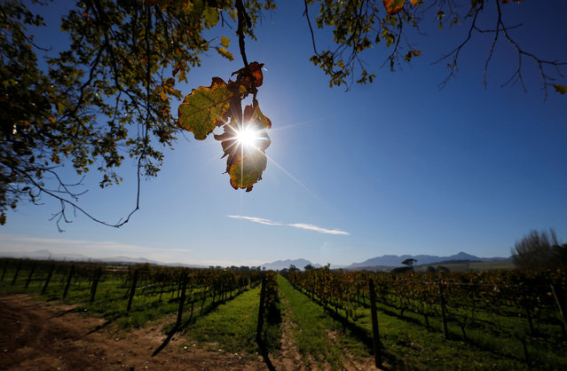 Morning sun shines on vineyards at the Vergenoegd wine estate near Cape Town, South Africa, May 20, 2016. (Photo by Mike Hutchings/Reuters)