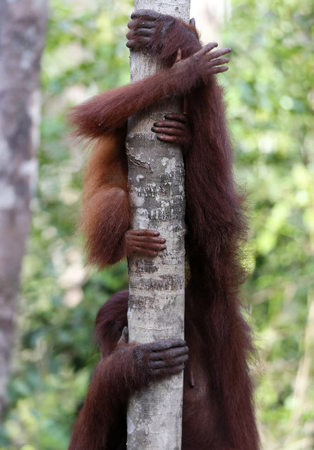 Orangutan hands and arms are wrapped around a tree at Camp Leakey in Tanjung Puting National Park in Kalimantan (Indonesian Borneo), Indonesia, September 3, 2013. (Photo by Barbara Walton/EPA)