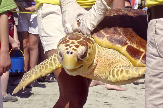 Volunteers from the South Carolina Aquarium release a rehabilitated Loggerhead Sea Turtles