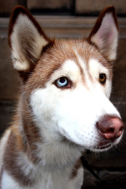 Heterochromia in Animals: Pets With Different Colored Eyes
