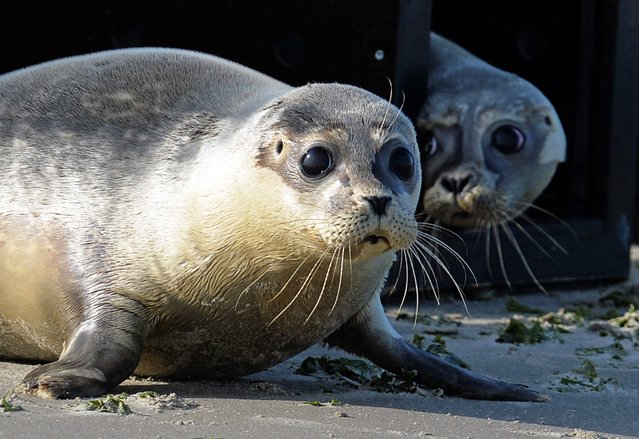 Common seals are reintroduced to the wild on the beach of the island Juist, Germany, 28 July 2014. It is the first reintroduction to the wild drive of the seal breading station Norddeich this year. (Photo by Carmen Jaspersen/EPA)