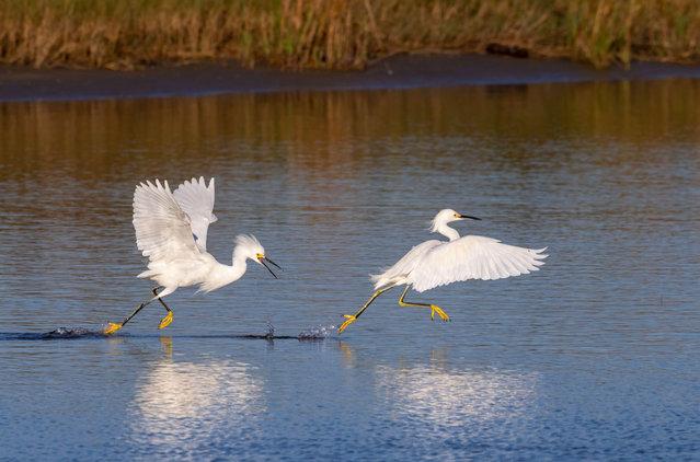 Snowy egrets fighting in a tidal marsh in Galveston, Texas. (Photo by Ivan Kuzmin/Alamy Stock Photo)