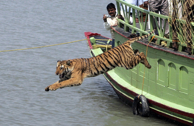 Forest workers watch a tigress as she jumps into the waters of river Sundari Kati, after its release from a cage at Sundarbans, about 150 km (93 miles) south of Kolkata February 19, 2008. (Photo by Parth Sanyal/Reuters)