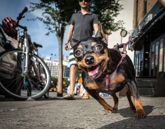 Take my picture! Apartment dogs in the East Village are always happy to be out for a walk. (Photo by Mark McQueen/Caters News Agency)