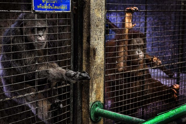 A chimpanzee and organgutan are housed side-by-side at the Pata Zoo on September 25, 2014 in Bangkok, Thailand. Located on the 6th and 7th floors of the aging Pata Department Store, the Pata Zoo is being criticized by animal rights activists for having cramped, inadequate facilities. (Photo by Taylor Weidman/Getty Images)