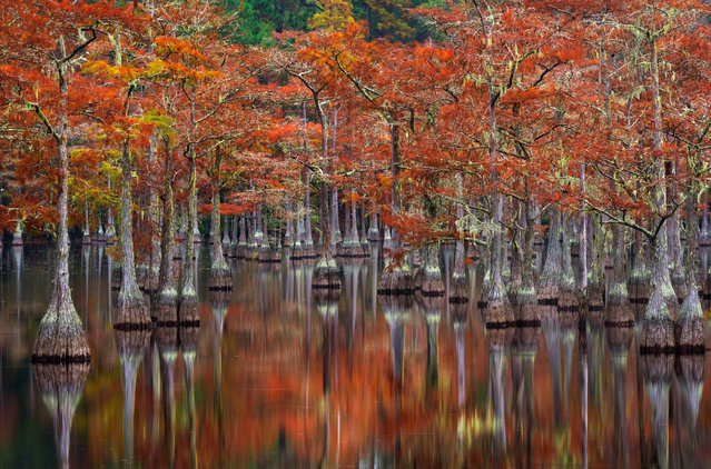 Trees are reflected on the surface of a lake in the Okefenokee swamp lands in Georgia, USA on October 21, 2017. (Photo by Chris Moore/Solent News & Photo Agency)