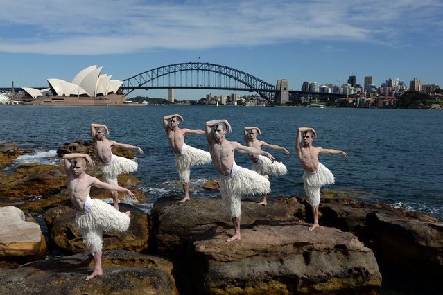 "Dancers in their iconic ""Swan Paint"" from Mathew Bourne's ""cygneture"" work, Swan Lake, pose in formation in front of Australia's landmark Opera House (L) and Harbour Bridge at Mrs Macquaries Chair in Sydney during a media call on October 28, 2014. Matthew Bourne's Swan Lake was first staged at Sadler's Wells theatre in London back in 1995 while it has been performed in the UK, Los Angeles, Europe, Australia, Japan, Israel and Singapore. (Photo by Saeed Khan/AFP Photo)"