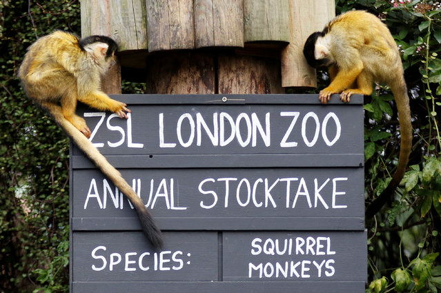 Squirrel monkeys sit on a placard during the Annual Stocktake at ZSL London Zoo in London, Britain February 7, 2018. (Photo by Tom Jacobs/Reuters)