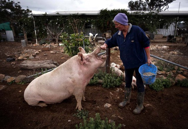 "Farmer Lindy Haynes rubs the snout of her favourite pig named 'Peanut' outside her home on her property known as ""Pigsville"" in the New South Wales town of Mudgee, located 250 km (155 miles) west of Sydney March 2, 2013. Haynes believes that all farm animals should be ""free range"", and allows the pigs, chickens, cats and dogs on her farm to move freely in and out of her house, with most sleeping inside at night. (Photo by David Gray/Reuters)"