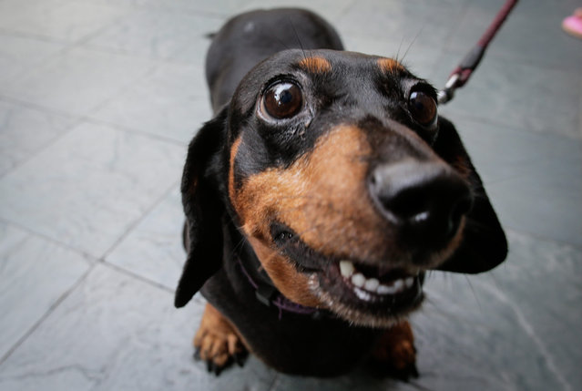 A dachshund looks at the camera prior to a mass blessing of pets in Eastwood, Quezon City, northeast of Manila, Philippines, 02 October 2016. Pet lovers and pet owners participated in a mass blessing with a special recognition to rescue dogs for their contribution to public safety in honor of the Feast Day of St. Francis of Assisi, the patron saint of animals. (Photo by Mark R. Cristino/EPA)