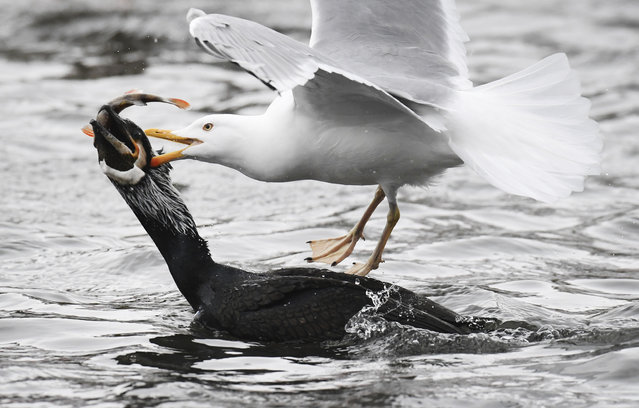 A gull and a cormorant challenge for a fish in the harbor of the German Baltic Sea town of Stralsund, Wednesday, February 28, 2018. An extreme Siberian cold snap sweeping across Europe is claiming lives in Poland and Romania, but also dusted the ancient ruins of Pompeii with snow Tuesday and prompted Amsterdam authorities to prepare the city's iconic canals for ice-skaters. (Photo by Stefan Sauer/DPA via AP Photo)