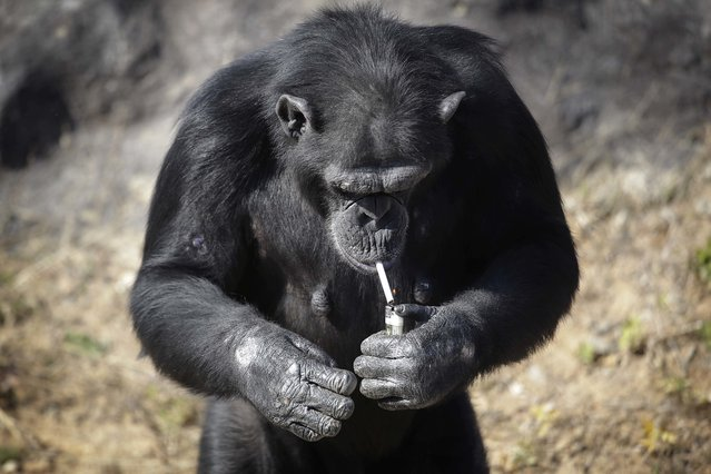 "Azalea, whose Korean name is ""Dalle"", a 19-year-old female chimpanzee, lights a cigarette at the Central Zoo in Pyongyang, North Korea on Wednesday, October 19, 2016. (Photo by Wong Maye-E/AP Photo)"