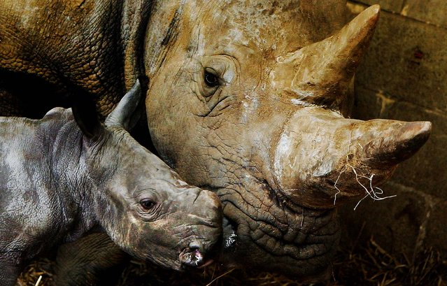 A newborn African white rhino calf is watched by its mother  at Whipsnade Wild Animal Park in Bedfordshire, England. (Photo by Scott Barbour/Getty Images)